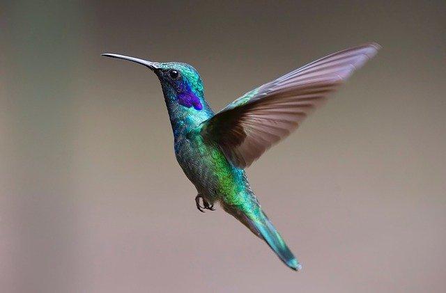 Jenis Burung Pipit