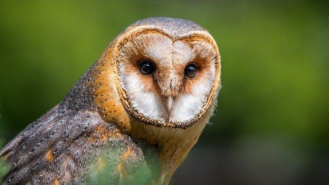 Mengetahui Nama Latin Burung Hantu Endemik Indonesia