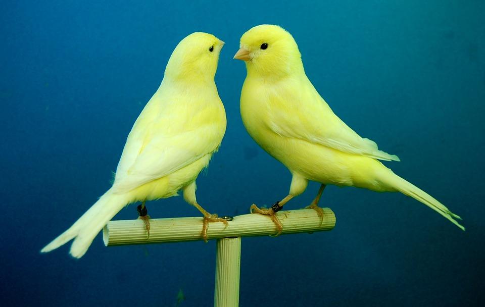 Aneka Jenis Burung Poksay