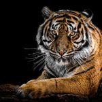 Cara Menggunakan Kumis Macan