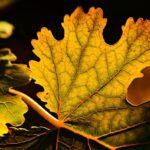 """Mengenal """"Piper Betle"""", Nama Latin Daun Sirih Yang Kaya Manfaat"""