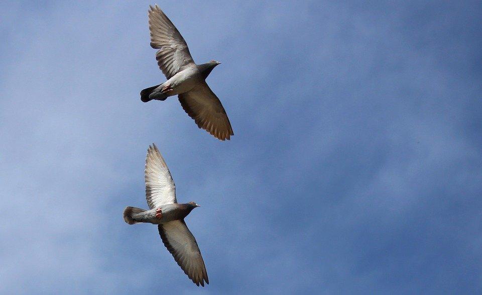 Cara memilih burung merpati tinggian