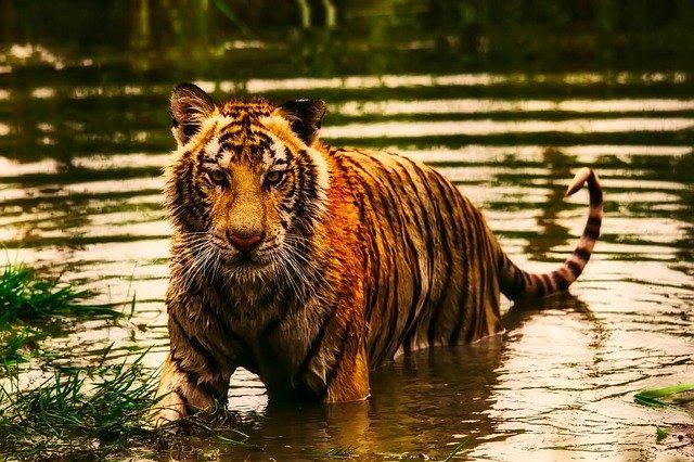Ketahui Arti Mimpi Harimau