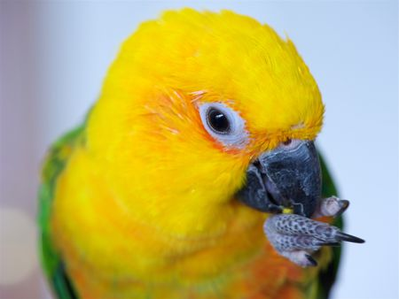 Sun Conure: Bird Species Profile