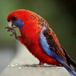 Crimson (Pennant) Rosella